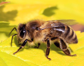A picture of a Honey Bee