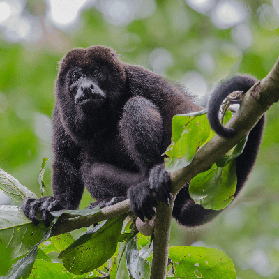 A Picture of a Howler Monkey