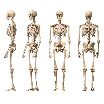 A Picture of a Human Skeleton