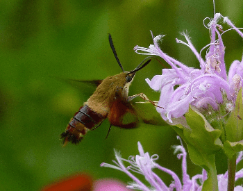 A photo of a hummingbird moth hovering