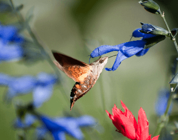 A photo of the beautiful hummingbird moth