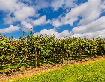A picture of a large kiwi plantation