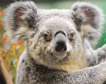 A picture of a koala (Phascolarctus cinereus adustus)