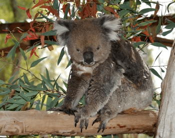 A picture of a koala (Phascolarctus cinereus victor)