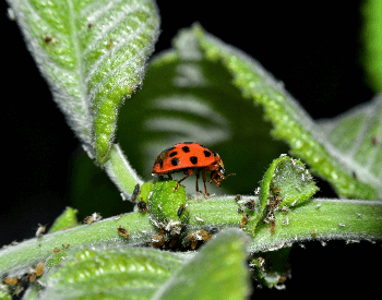 A photo of a ladybug eating aphids