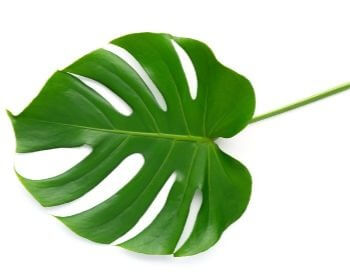 A picture of a large tropical plant leaf