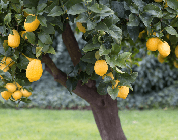 A picture of a lemon tree full of lemons