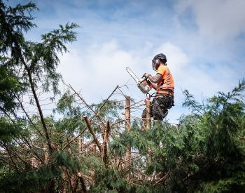 A picture of a lumberjack trimming tree tops