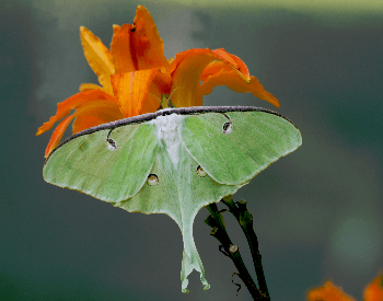 A photo of a luna moth (Actias luna)