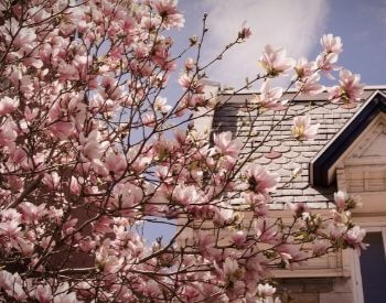 A picture of a magnolia tree in front of a house