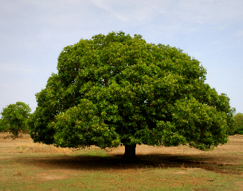 A picture of a mango tree