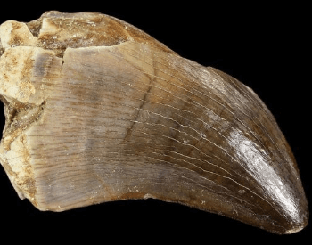 A picture of a tooth from a Mosasaurus