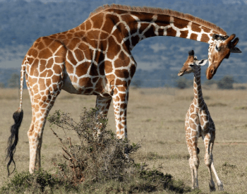 A photo of a mother and baby giraffe