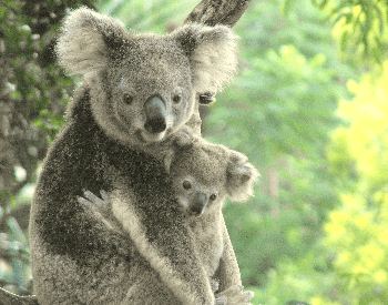A picture of a mother and baby koala (Phascolarctus cinereus)