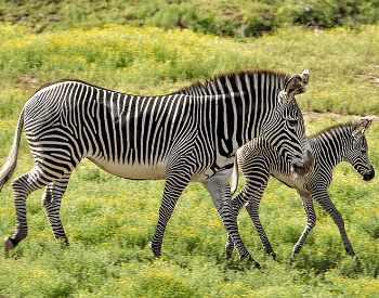 A picture of a mother and baby zebra