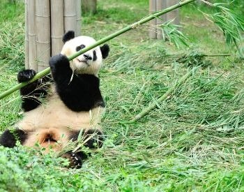 A picture of a panda eating from a bamboo
