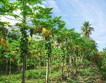 A picture of a large papaya plantation