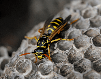 A photo of a paper wasp on its nest