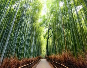 A picture of a path in a bamboo tree forest