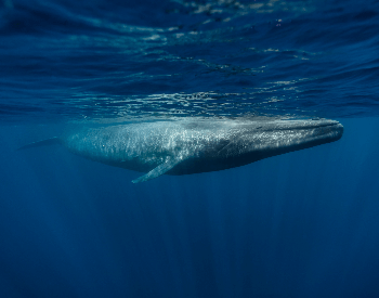 A photo of a blue whale