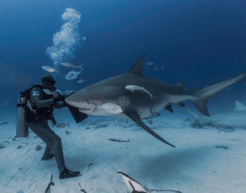 A picture of a bull shark and a diver.