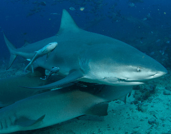 A photo of a bull shark.