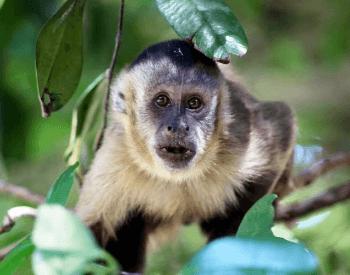 A photo of a capuchin monkey.
