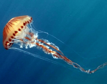 A photo of a Compass jellyfish.