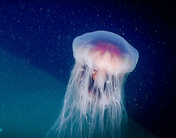 A photo of a Cyanea jellyfish.