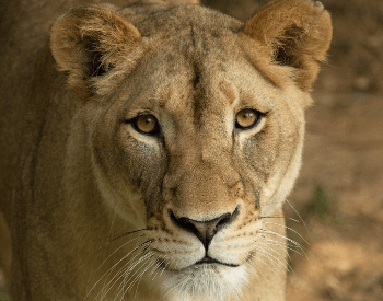 A photo of a female lioness.