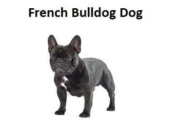 A photo of a French Bulldog Dog.