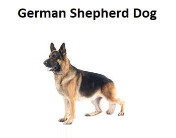 A photo of a German Shepherd Dog.