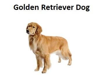 A photo of a Golden Retriever Dog.