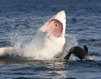 A photo of a great white going for a seal.