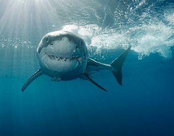 A photo of a great white shark.