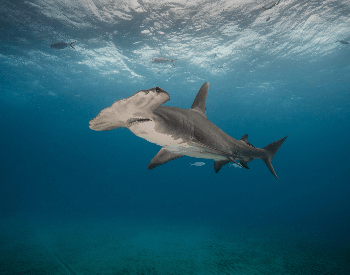 A photo of a hammerhead shark.