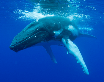 A photo of a humpback whale
