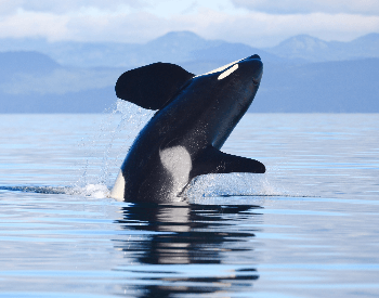 A photo of a killer whale