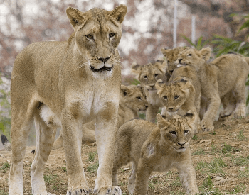 A photo of a lioness and cubs.