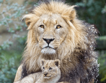 A photo of a male lion and his cub.