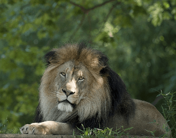 A photo of a male lion.