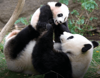 A photo of a panda and a cub.