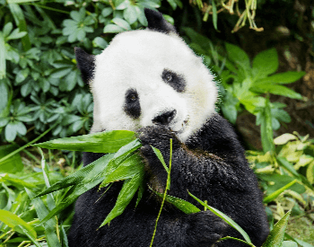 A photo of a panda eating vegetation.