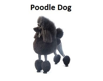 A photo of a French Poodle Dog.