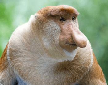 A photo of a proboscis monkey.