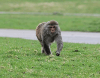 A photo of a rhesus macaque monkey.