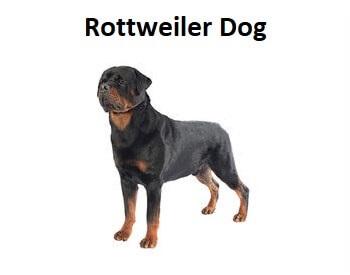 A photo of a Rottweiler Dog.
