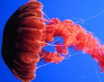 A photo of a Sea Nettle jellyfish