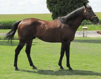 A picture of a Thoroughbred horse.