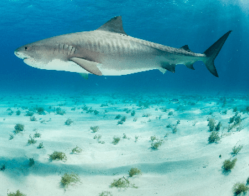 A photo of a tiger shark.